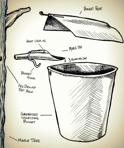 tamworthlyceum:  How To: DIY diagram of tapping a Sugar Maple Tree  I want to do this next year….there HAS to be some sugar maples around our place somewhere….