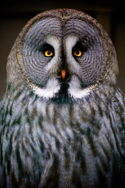 nature-madness:  Great Grey Owl | Ben Denison