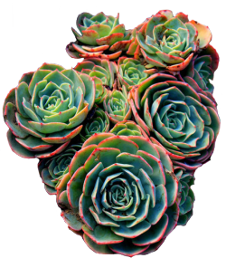 transparent-flowers:  Lovely succulents. Jovibarba heuffelii.