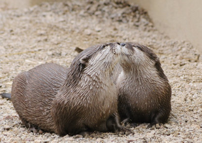 thepredatorblog:  Otters kissing (by ~Sabretooth09)