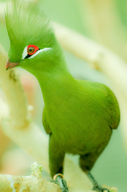 fairy-wren:  green turaco (photo by nagashima)