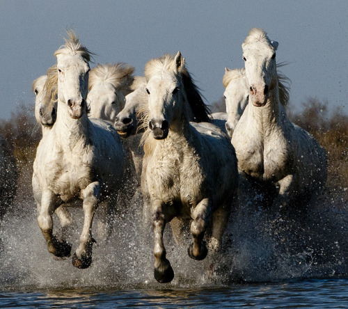 theequus:  Group of Camargue Horses Galloping through Water (2) by John Hallam Images on Flickr.
