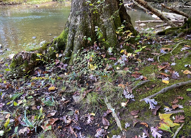 The base of an old oak tree by a stream. There is moss and many leaves of different kinds and colors on the ground around it.