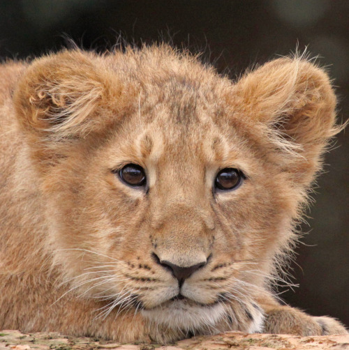 beautiful-wildlife:  Cute Cub
