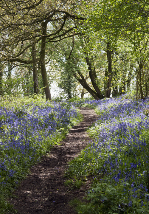 wanderthewood:  Bluebell woods, Dorset, England by Cath in Dorset
