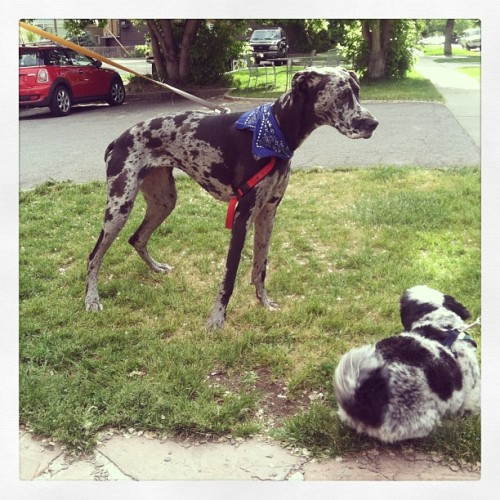 She is giant :) #greatdane #giant #dogs #walks #partytime #slutlyfe