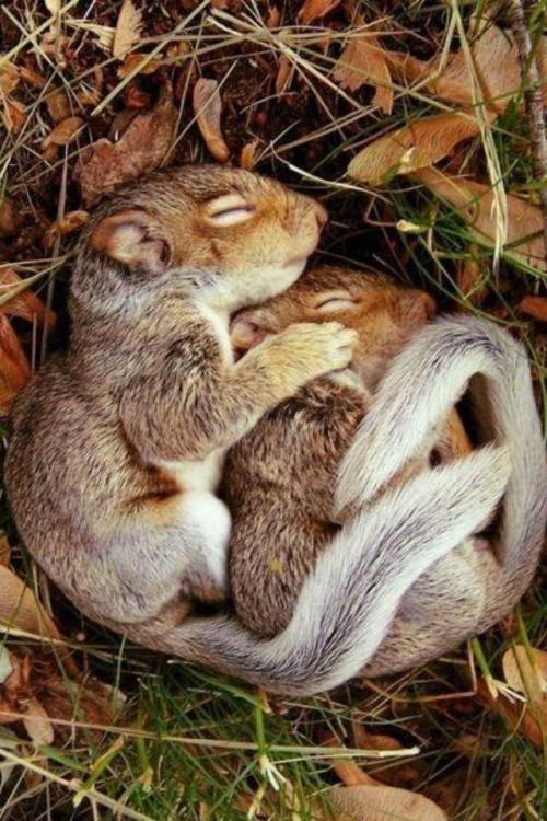 cute-overload:  A couple baby squirrels spooninghttp://cute-overload.tumblr.com  Baby squirrel love~ <3