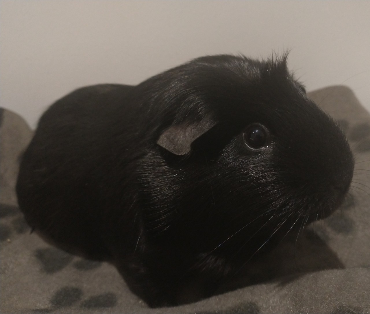 Imposter rabbit would like permission for snuggles, granted. #cute#beautiful#guinea pig#raven#void