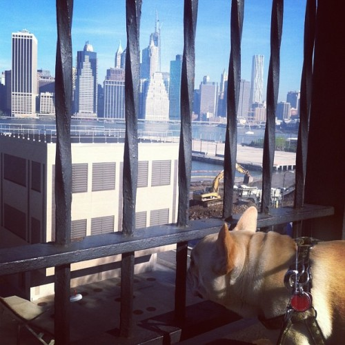 the other day, walter watched the spire go up on one world trade center. #history #onewtc #latergram  #frenchie #frenchbulldog #waltercronkite #cutepuppy #pets #dogs