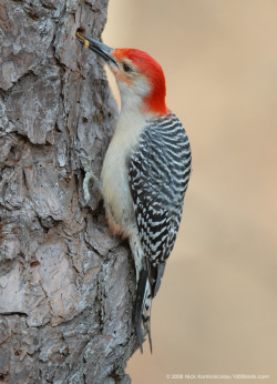 Red-bellied Woodpecker  photo by Nick Kontonicolas