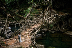 rockahell:  Deep in the rainforests of the Indian state of Meghalaya lie some of the most extraordinary pieces of civil engineering in the world. Here, in the depths of the forest, bridges aren't built - they're grown. Cherrapunji receives about 50 inches of rain a year which would easily rot normal wooden bridges. This is why, 500 years ago, locals began to guide roots and vines from the native Ficus Elastica rubber tree across rivers using hollow bamboo until they became rooted on the opposite side – eventually creating a bridge.