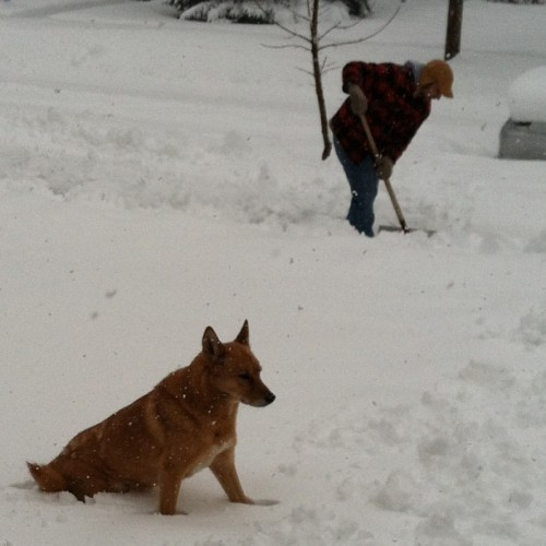 Taking a break. #germanshepherd #dog #shoveling #winterstorm #snowstormsaturn #canine #weather