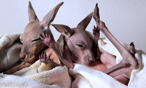 guardian:   Hello Tumblr! Check out these cute young Kangaroos in an incubator. A gentle giant has been nicknamed Kangaroo Dundee after rescuing and raising more than 200 orphan marsupials. Brolga, a 6ft 7inch Australian, gave up a life in the city to open his own sanctuary in the outback. Photograph: AGB Films/SWNS.com   Hello babies! Get more marsupial action with clips from the two-part BBC Two documentary, Kangaroo Dundee, about Brolga and the kangaroos he cares for.