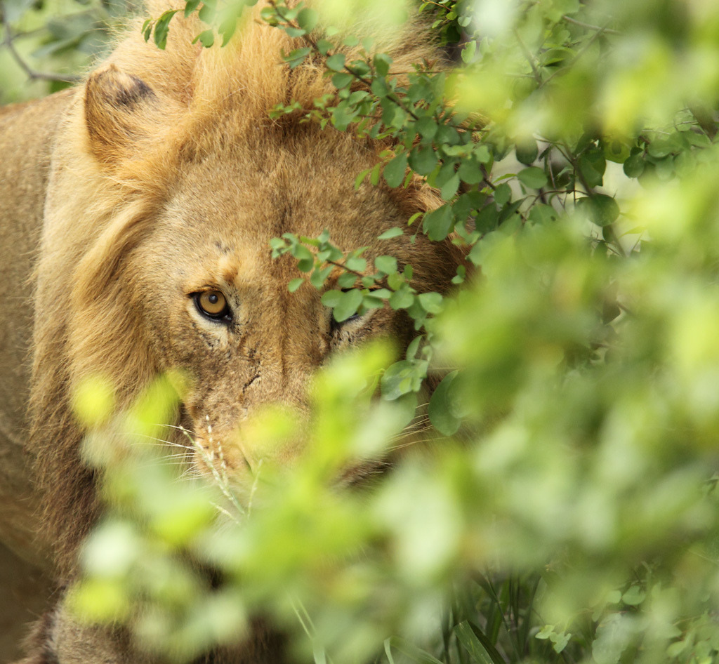 llbwwb:  Watching you! Lion (by Impisi)