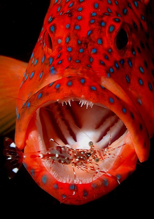 0xigeno:  p-e-r-e-g-r-i-n-e:  Coral Trout and Cleaning Shrimp  thebaglady  .
