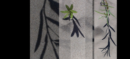 3/13: News from a Summer's Beach: plant shadow play edition (photo credit: J.A. Ginsburg / CC BY-NC-ND /@TrackerNews)