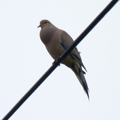 dendroica:  Mourning Dove cooing on Flickr.