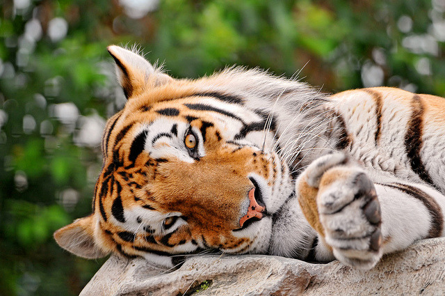 thrsty:  v1gilante:  Lazy tiger by Tambako the Jaguar on Flickr.  this is great