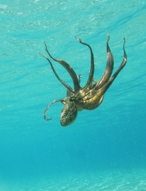 earth-song:   Octopus prime by *serdarsuer