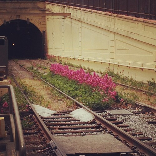 The flowers sprouting from the middle of these train tracks look fake, no?? (at Duboce Park)