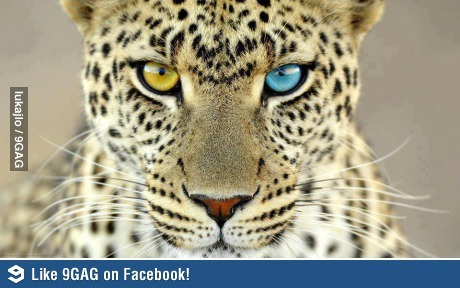 ragecomics4you:  Beautiful leopard with different coloured eyeshttp://ragecomics4you.tumblr.com  Sickk