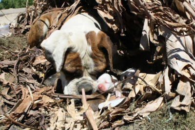 Local animal rescue group rescued this poor mamma and her 6 babies. She had been dumped way out in the farm country while pregnant and had her pups and was hiding in a burn pile. Luckily Farm workers saw her and called the local rescue group who came and saved them.