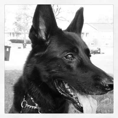 He's a happy boy out on our walk today #germanshepherd #dog #walk