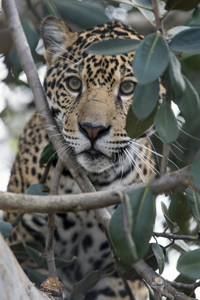 llbwwb:  Jaguar (by Official San Diego Zoo)