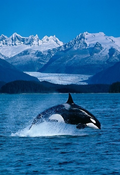 x-enial:  Jumping Orca by John Hyde