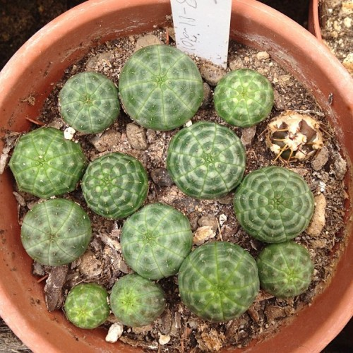 Some of the #Euphorbia#obesa Bette and I planted from seed last June.