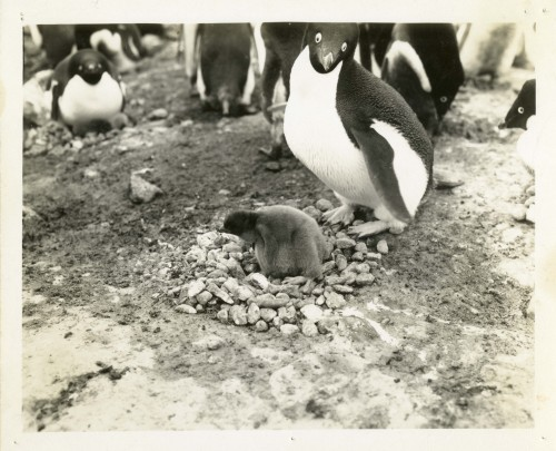 Unknown photographer, 1947, Penguins, Operation Windmill The image was taken during Operation Windmill (1947-1948) , an expedition established by the Chief of Naval Operations to train personnel, test equipment, and reaffirm American interests in Antarctica.