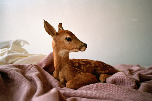 blissfulbambi:  I would die if a baby doe was on my bed