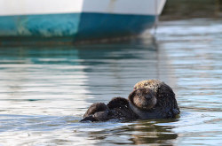 An sea otter mother carries her pup past a docked boat in California Photograph: Michael Yang/Rex Features