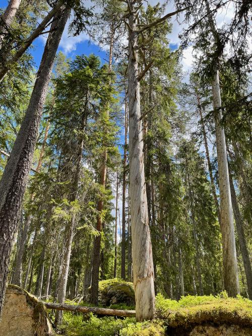 Fänstjärnsskogen Nature Reserve, Värmland, Sweden. #fänstjärnsskogen nature reserve #värmland#sweden#nature reserve#forest