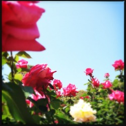 #rose #garden on the other day.