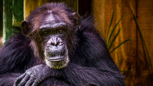 CareerBuilder: No chimpanzee commercials during this year's Super Bowl     The company won't be running its popular commercials, which animal-rights group say are damaging to chimpanzee conservation efforts.