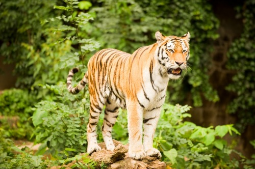 Cats on the Brink - Endangered Felids:  Tigers by Jaymi Heimbuch Tigers are perhaps the most iconic cat species in the world, next to the African lion, and one of the most loved animal species worldwide. And yet, despite the respect, admiration and fear it inspires, it is endangered and disappearing from the wild at a rapid clip. There are six subspecies of tiger, including the more familiar Sumatran Tiger and Bengal Tiger, and some are more threatened than others. But the tiger as a species is in danger everywhere.  Threats include a loss of habitat, but also they are hunted for their skins, and for parts of their bodies used as pain killers and aphrodisiacs (though there is zero scientific evidence that any part of a tiger has any medicinal properties). Though protected through CITIES, the black market trade in tigers (both alive and in pieces) is thriving. Today, the captive tiger populations for several subspecies outnumber the wild populations. Without more stringent protections and better enforcement, these big cats may disappear from the wild entirely. (read more: TreeHugger)                       (photo: Phillippe Put)