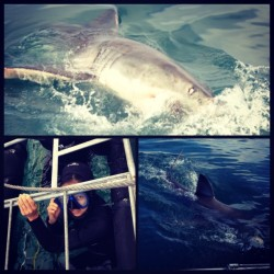 Literally… Centimeters away! #greatwhite #sharkcagediving #capetown #southafrica #thiswasNOTmyidea but, I lived to tell the tale.