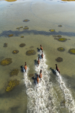 "earth-song:  ""Wild Horses of Shackleford Banks"" by Brad Styron"