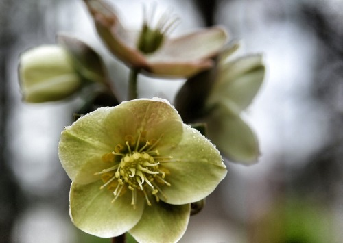 Cinnamon Snow Lenten Rose