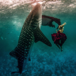 bobbycaputo:  Underwater model Hannah Fraser swims with a whale shark in Oslob, Philippines, for a one-of-a-kind photo-session. The stunt was the brainchild of US photographers Shawn Heinrichs and Kristian Schmidt. Picture: Kristian Schmidt / Barcroft Media