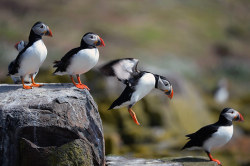Puffins return to their summer breeding grounds on the Farne Islands, off the coast of Northumberland, UK. Wildlife rangers have embarked on an epic census discover whether puffin numbers have plummeted after a year of extreme weather Photograph: Jeff J Mitchell/Getty Images