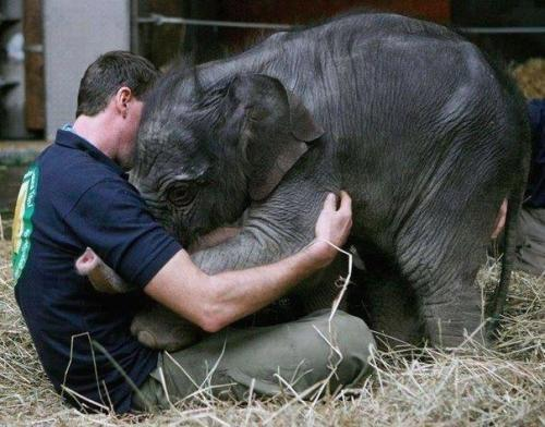 ingridmatthews:  An orphaned baby elephant greets her caretaker/adopted dad.