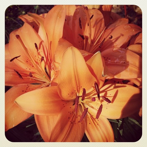 Still not sure where to plant my Mother's Day Lilly. #flowers #flowersofinstagram #lategram #color #orange #favoritethings