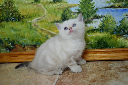 Фото породы Скоттиш - страйт (шотландская прямоухая кошка)
