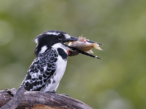 funnywildlife:  Pied Kingfisher with Lunch [Explored] by Robert van Brug on Flickr.