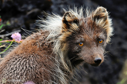 beautiful-wildlife:  Wild Arctic Fox, Iceland