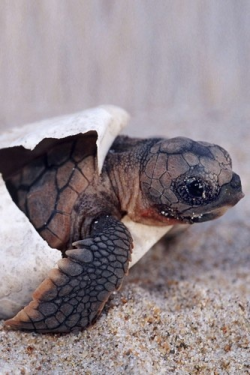 eqiunox:  A loggerhead turtle's first official baby photo