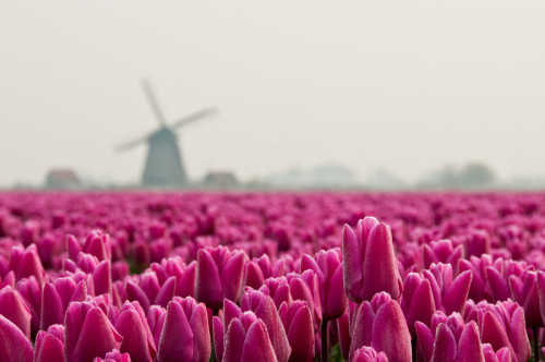 travelingcolors:  Tulips Ocean (by ferryvn)