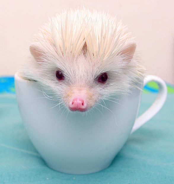 The Animal Blog — A rare albino African pygmy hedgehog is ...